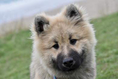 Povinné čipování psů se blíží