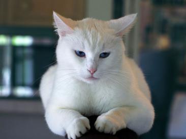 Proč kočka zvrací?