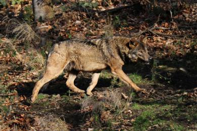 Iberský vlk