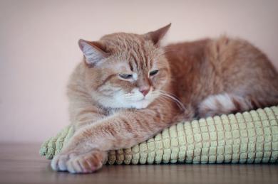 Proč kočka vrní?