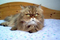 Perská kočka úvod
