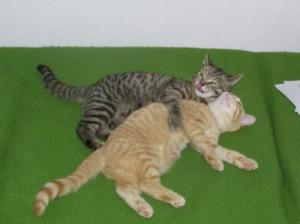 Jak seznámit koťátko s ostatními kočkami