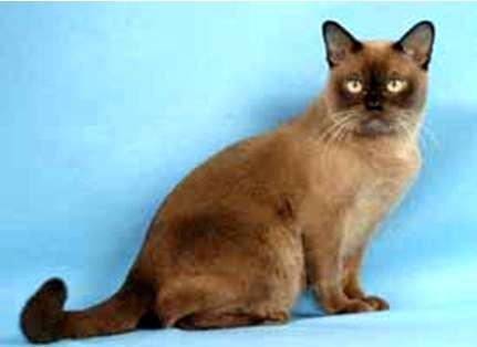 Barmská kočka