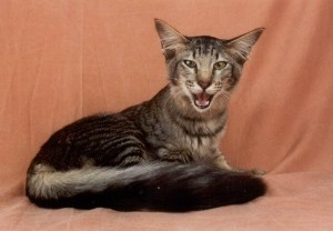 Javánská kočka