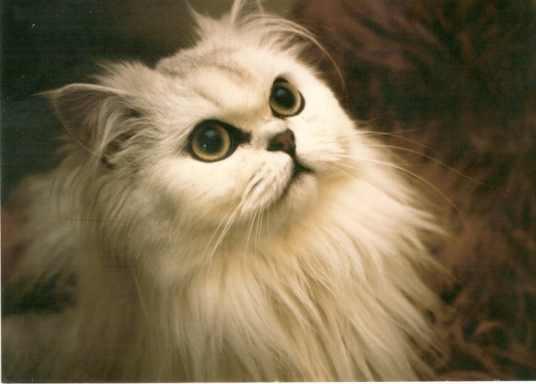 těsná exotická kočička