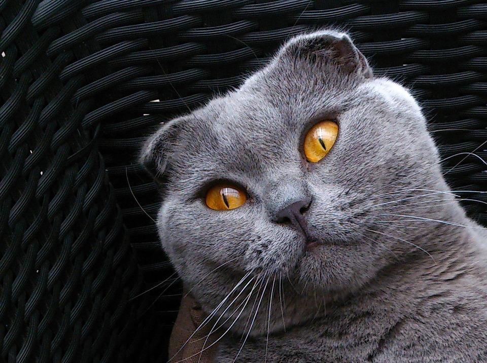Skotská klapouchá kočka