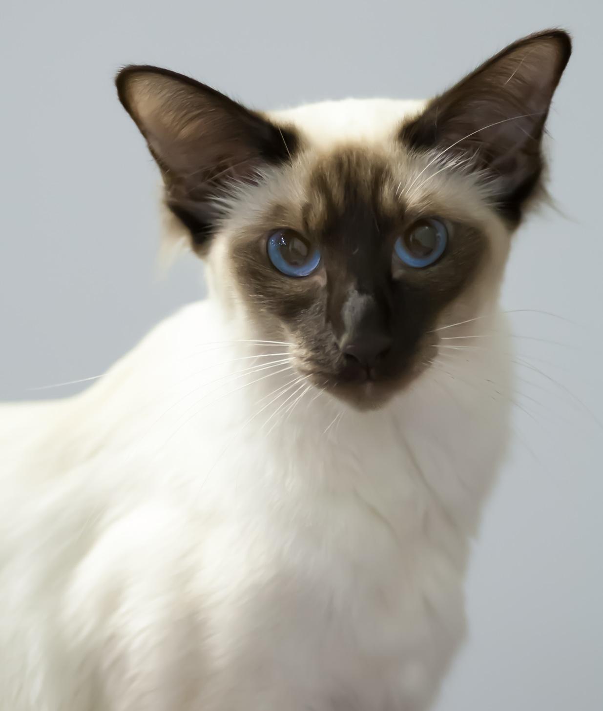 Balinéská kočka