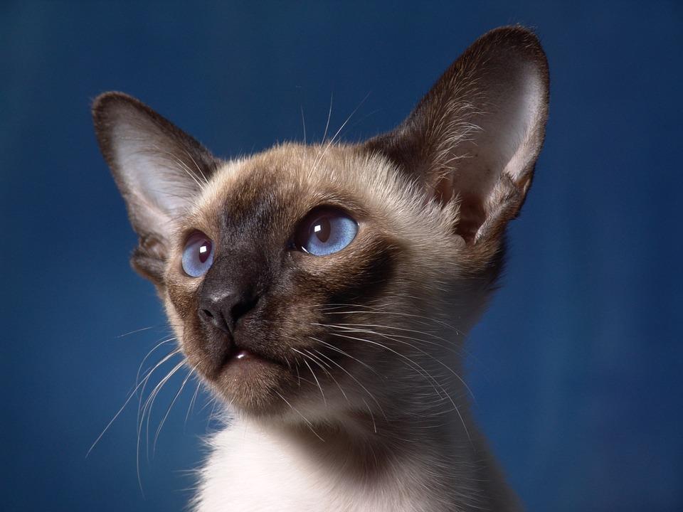 Kočka škrábe záclony