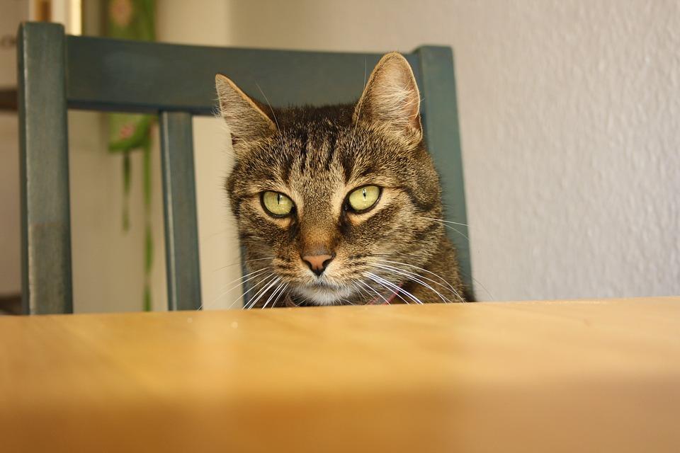 Jak kočku odnaučit skákat na jídelní stůl a kuchyňskou linku?