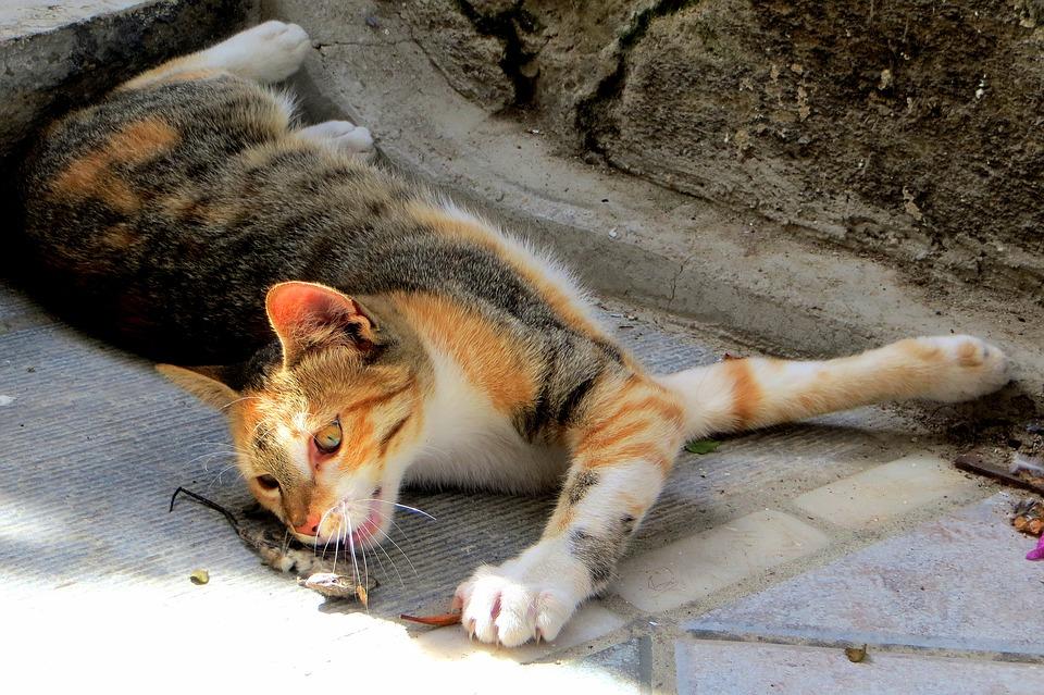 Mohou být kočky vegetariánky?