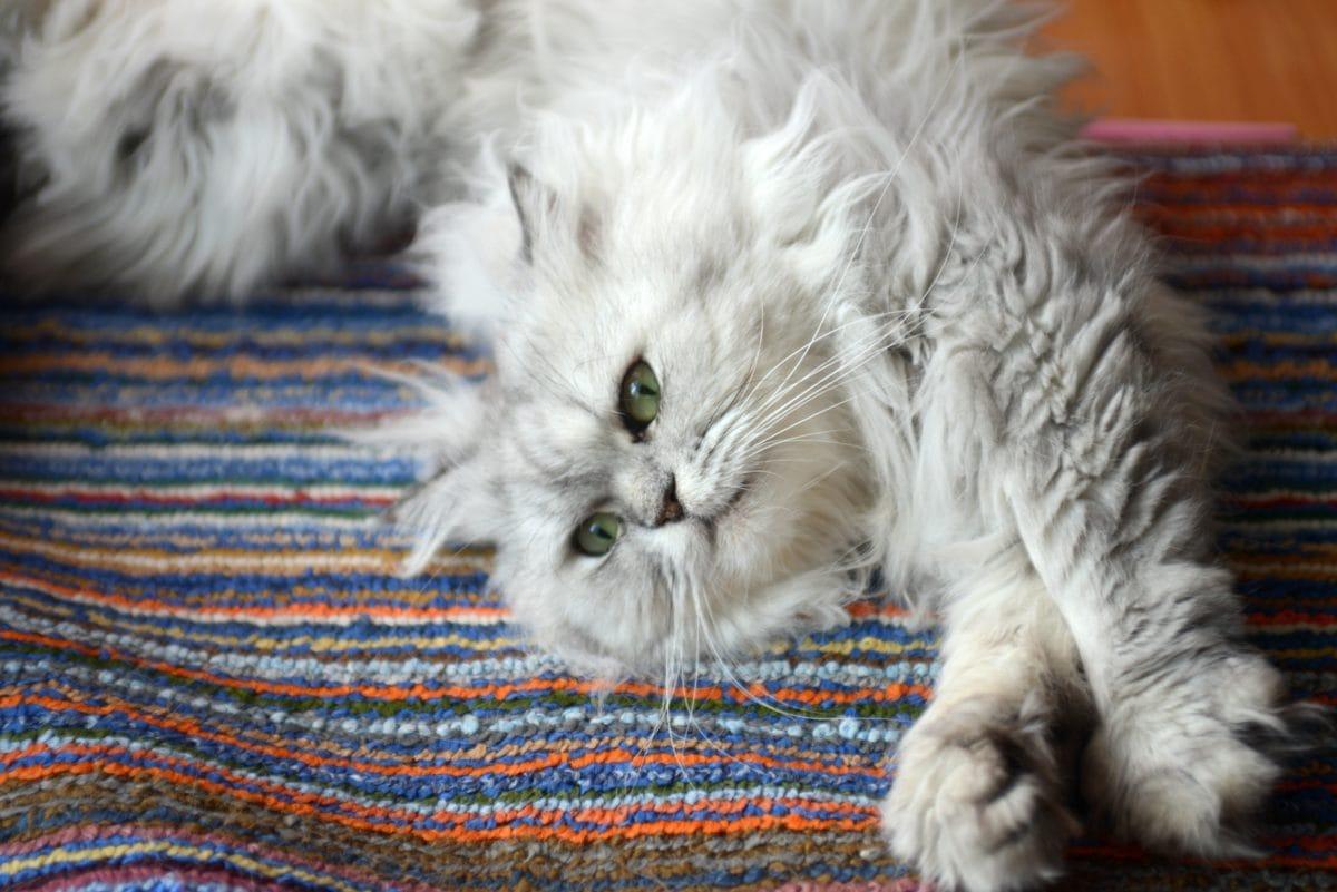 Proč kočky útočí na kotníky?