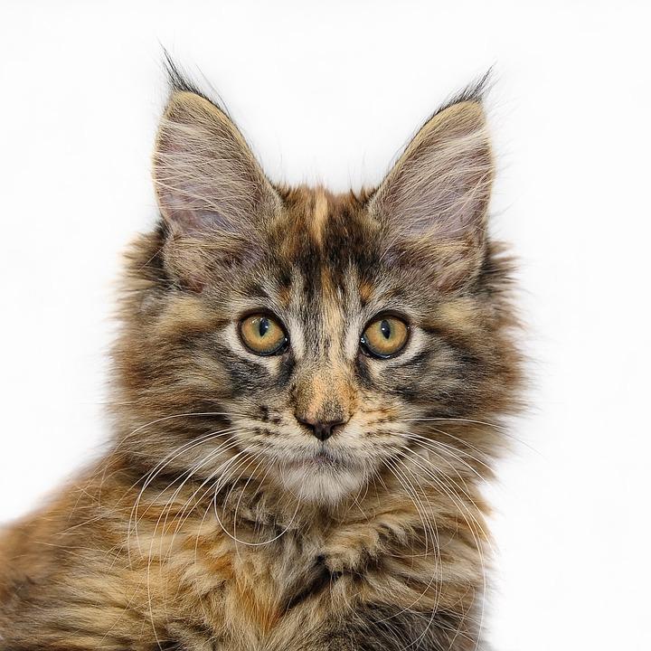 Krmiva šitá na míru nejoblíbenějším kočičím plemenům