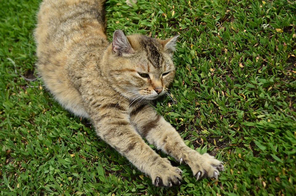 Proč kočky přešlapují?