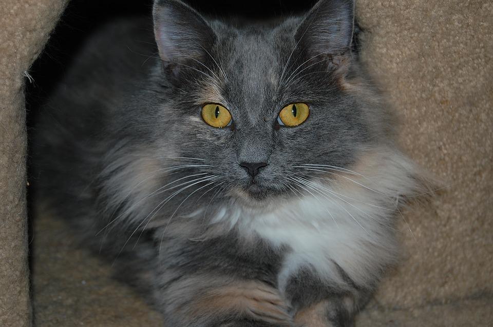 Proč kočka ve stresu ztrácí víc chlupů?