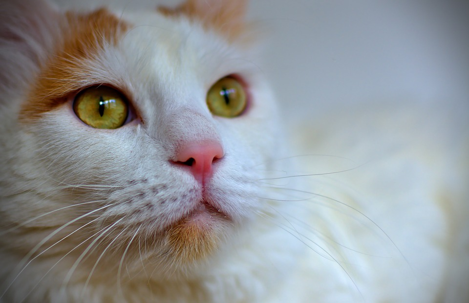 Existuje kočka, která ráda plave?