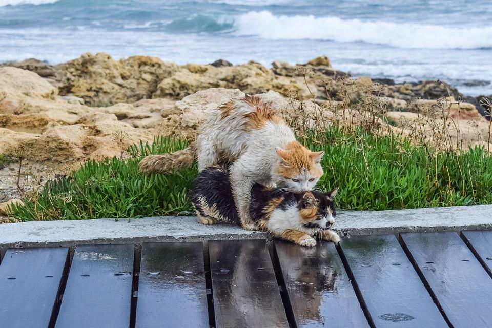 Proč kočky při páření tolik řvou?