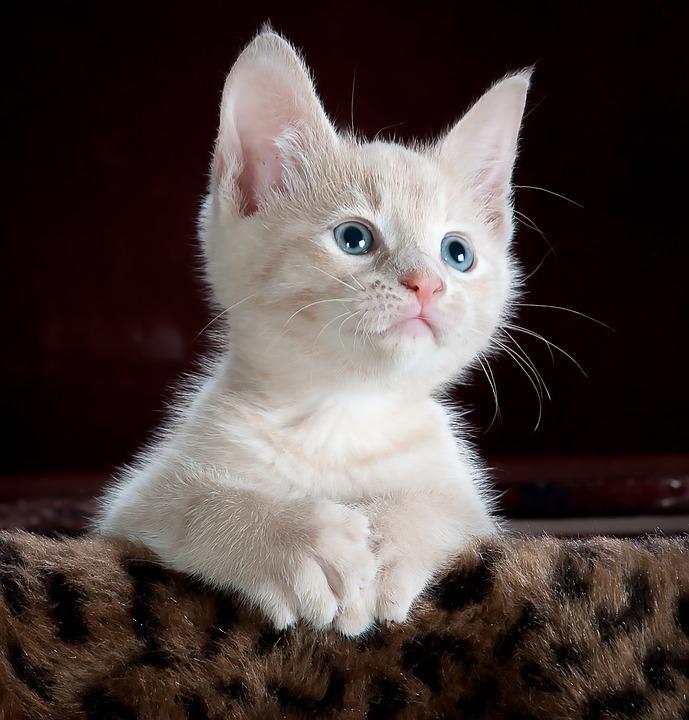 Můžu dát kočce paralen?