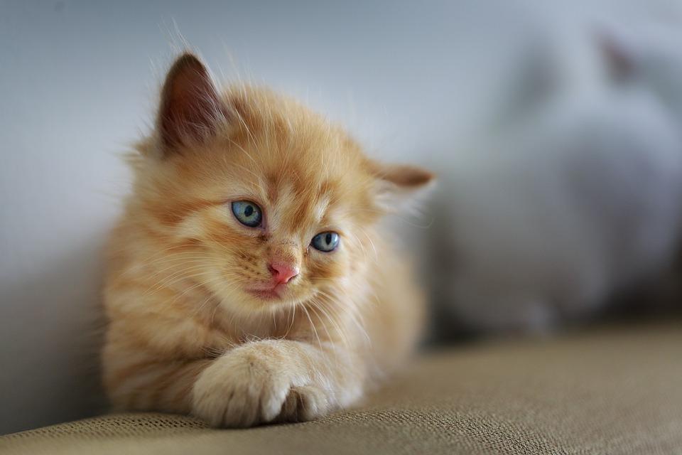 Proč některé kočky rády olizují nebo žvýkají vlasy?