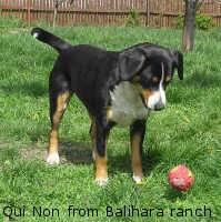 Etlenbuchský salašnický pes