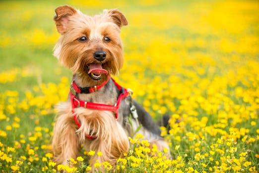 Podívali jsme se na zoubek tomu, proč malým psům smrdí z tlamy víc než jiným