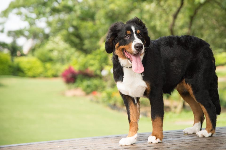 Ostříhat psa, aby lépe snášel vedro?