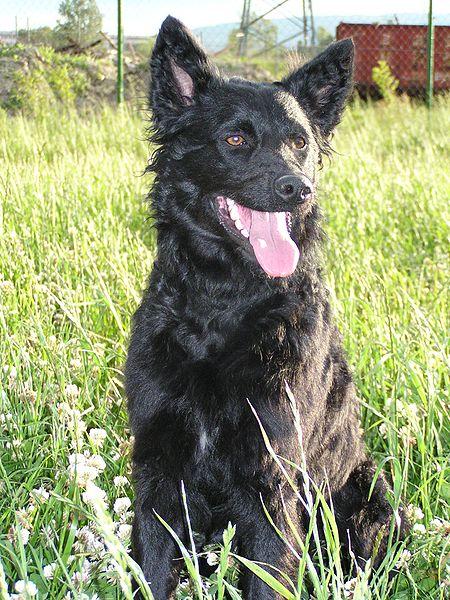 Chorvatský ovčák