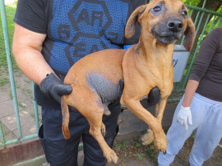 Chovatelce v Královéhradeckém kraji bylo odebráno více než 50 týraných psů