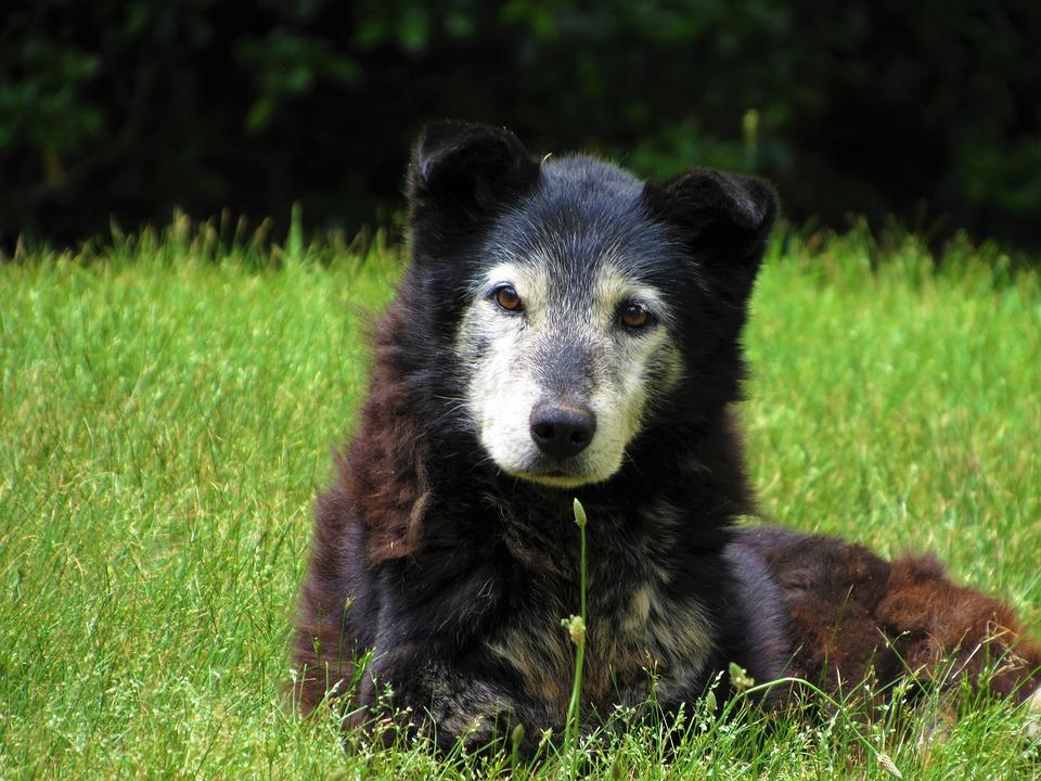 Degenerativní onemocnění mozku starých psů