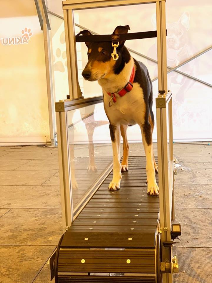 Už jste slyšeli o běhacím trenažeru pro psy?