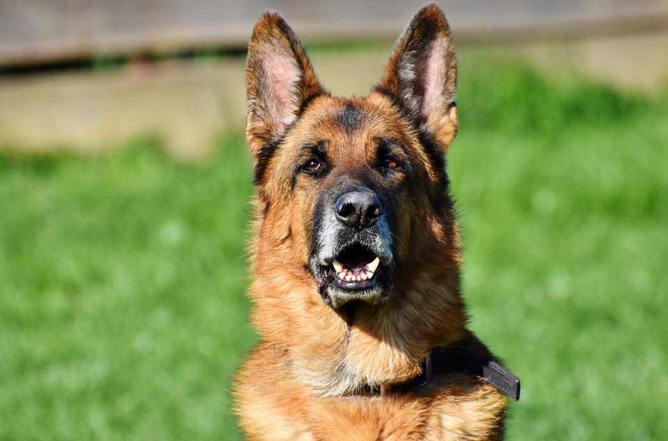 Může pes paralen?
