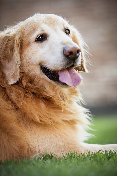 Rakovina je hlavní příčinou úmrtí u téměř poloviny psů