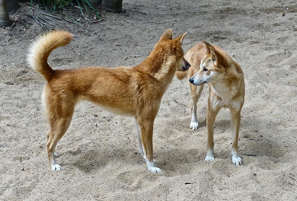 Která psí plemena jsou nejstarší?