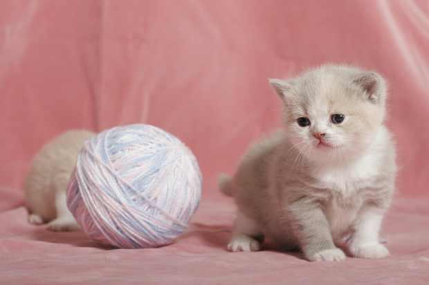 Tlustá růžová kočička fotky
