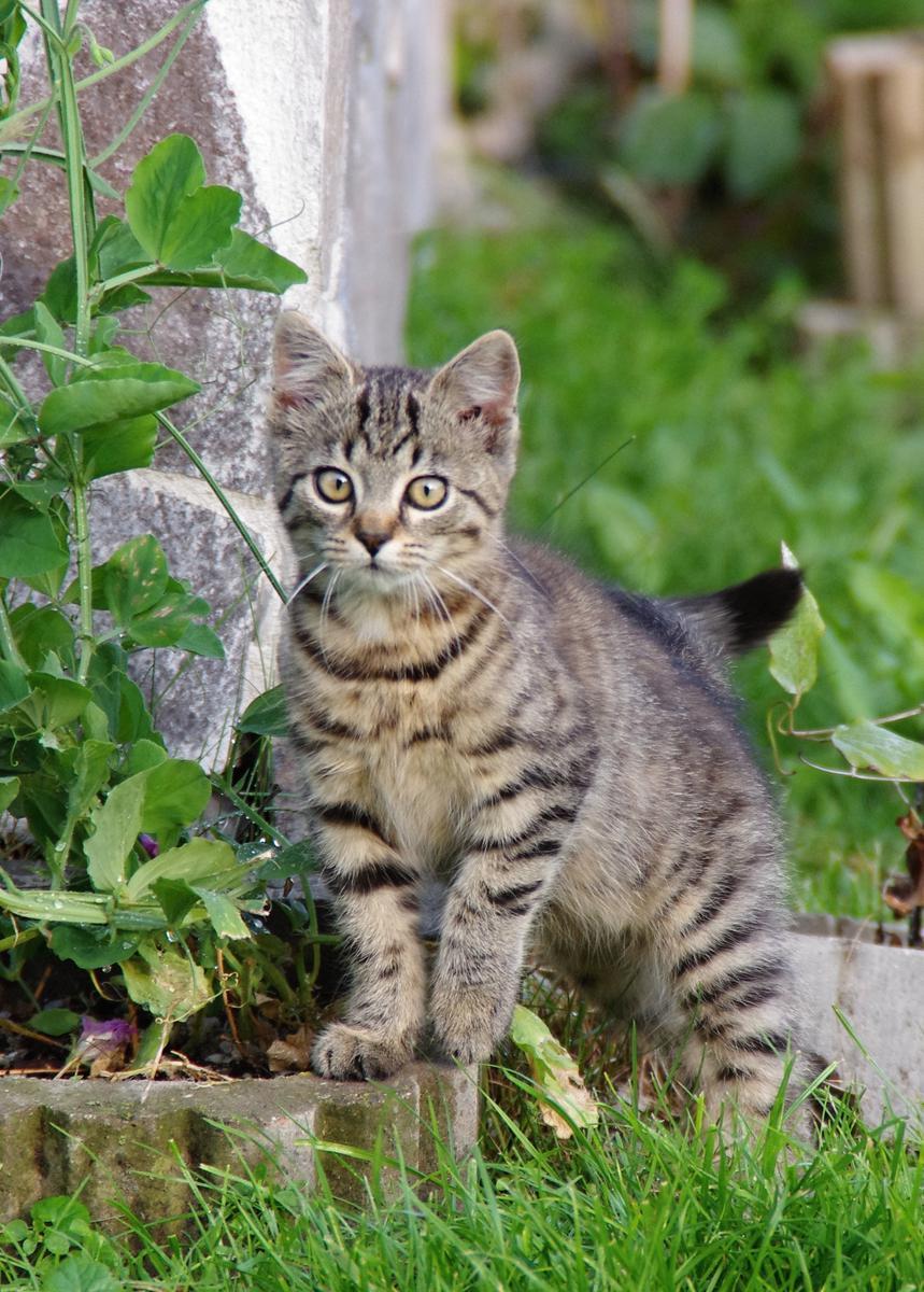 Tygr (Panthera tigris) je velká kočkovitá šelma žijící v Asii.