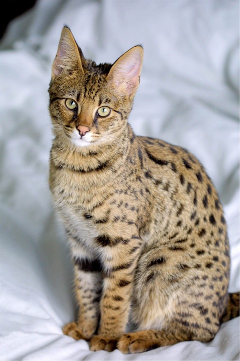Aferická kočička